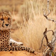 Chita | Cheetah