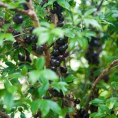 Jaboticaba | Jaboticaba fruit