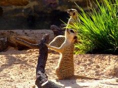 Suricatos | Meerkats