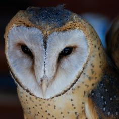Coruja | Owl